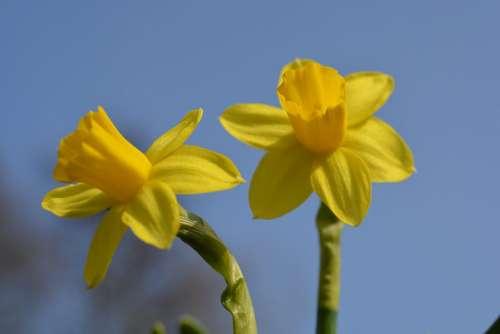 Yellow Flower Beautiful Bloom Narcissus Daffodil
