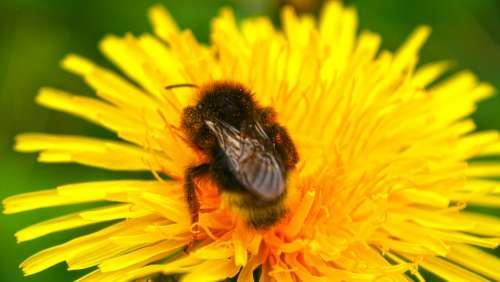 Yellow Flower Bee Macro Pollination