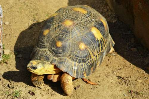 Yellow-Footed Tortoise South American