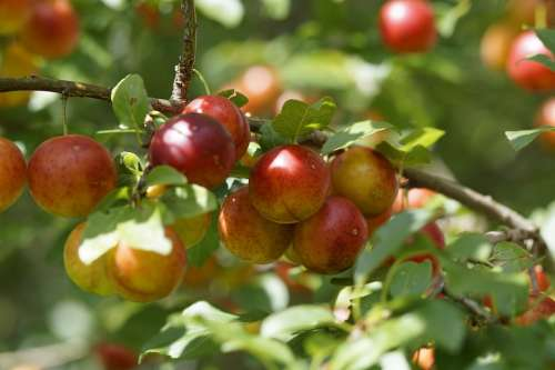 Yellow Plums Branch Fruits Fruit Red Delicious