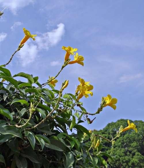 Yellow Trumpet Vine Flower Yellow
