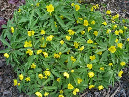 Yellow Wood Anemone Spring Flowers Green Yellow
