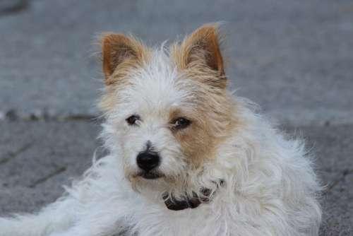 Yorkshire Terrier Terrier Dog Lying Lazy Fur