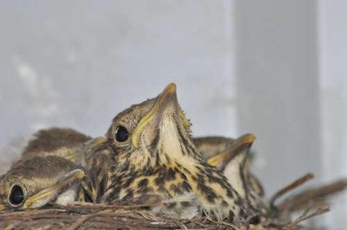 Young Birds Socket Thrush