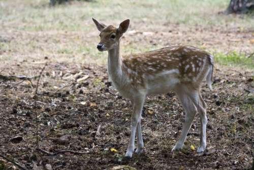 Young Fallow Deer Fallow Deer Fur Stains Antler