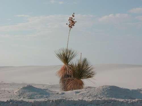 Yucca Desert Plant White Sands Desert Grass Plant
