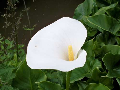 Zantedeschia Lily White Flower Arum Green Leaves