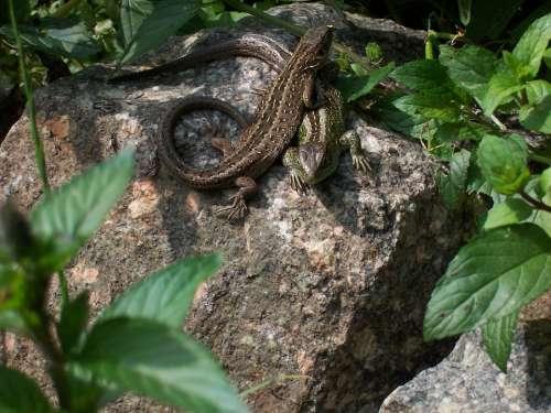 Zauneindechsen Lizard Reptile Animals Nature