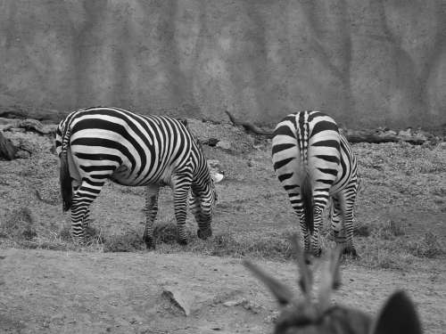 Zebra Zoo Animals