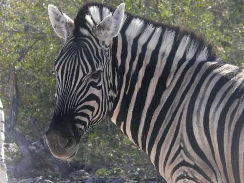 Zebra Namibia Animals African Mammal Herbivore