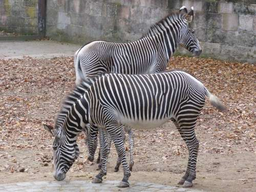 Zebra Zoo Black And White Animal Wild Animal