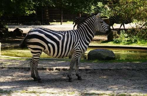 Zebra Mammal Animals Zoo Mammals