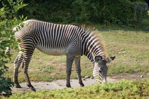 Zebra Animals Zoo Seat Belts