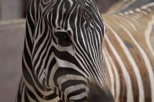 Zebra Close-Up Animals African Safari Wild