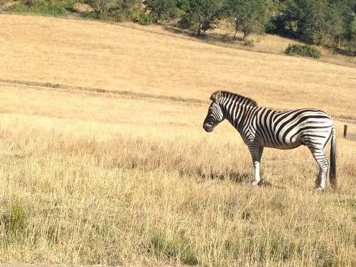 Zebra Safari Zoo Field Africa Savanna Wildlife