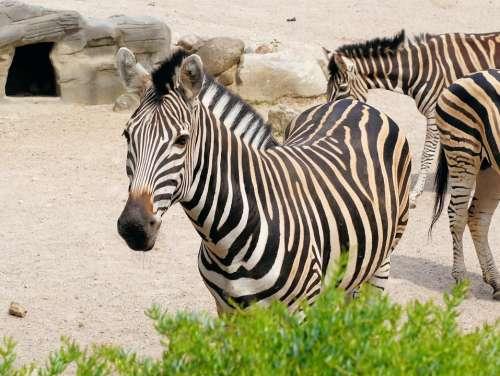 Zebra Striped Black And White Zoo Head