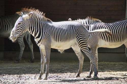 Zebra Stall Hoofed Animals Perissodactyla White