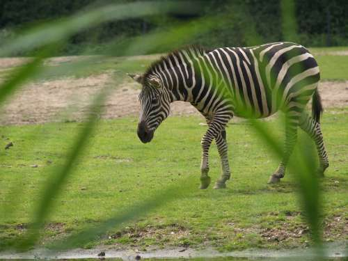 Zebra Watering Hole Wild Horse Horse Mane Striped