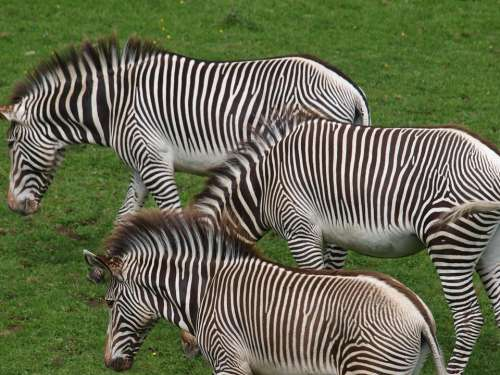 Zebras Horses Animals Mammals Savannah Steppe