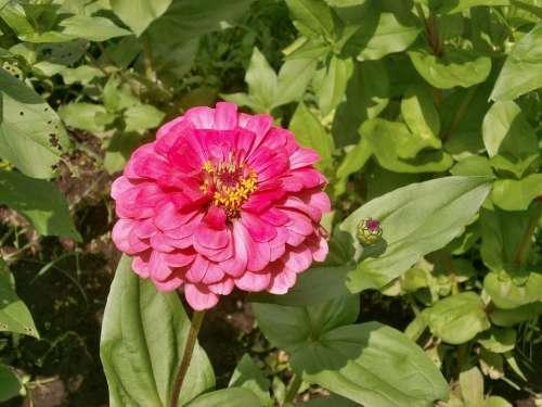 Zinnia Elegans Zinnia Pink Flower