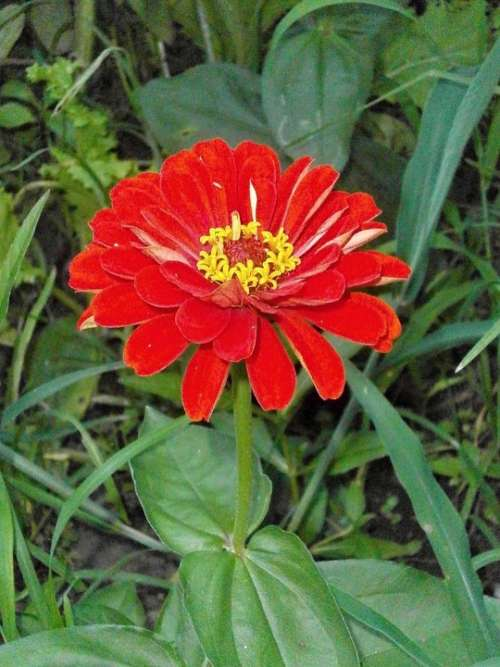 Zinnia Elegans Zinnia Red Flowers