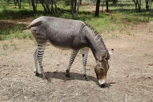 Zonkey Zebra Donkey Stripes Mammal Exotic