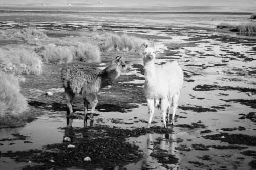 Llama and alpacha eating, Laguna Colorada, Bolivia