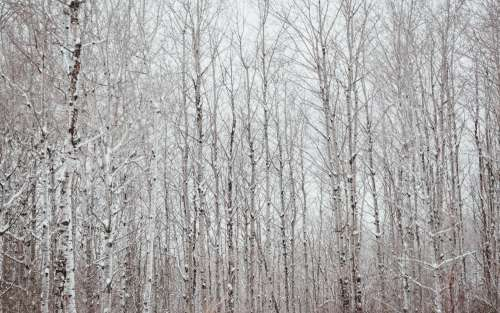 A Black And White Polar Forest Against A White Winter Sky Photo