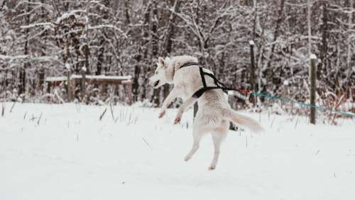 A Sled Dog Leaps Into The Air With Excitement Photo