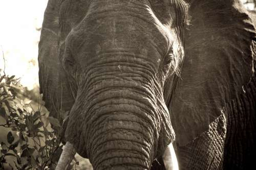 African Elephant Close Up Photo