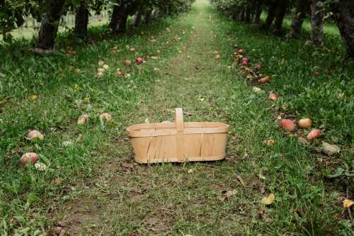 Basket For Apple Picking In Fruit Orchard Photo