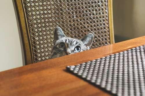 Blue Eyed Cat Peeking Photo