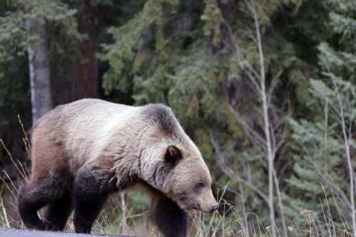 Brown Bear In The Wild Photo