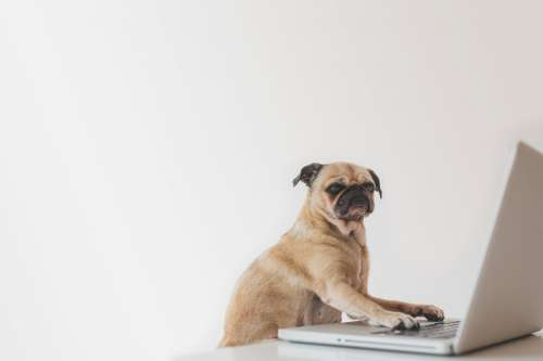 Business Pug Working On Laptop Photo