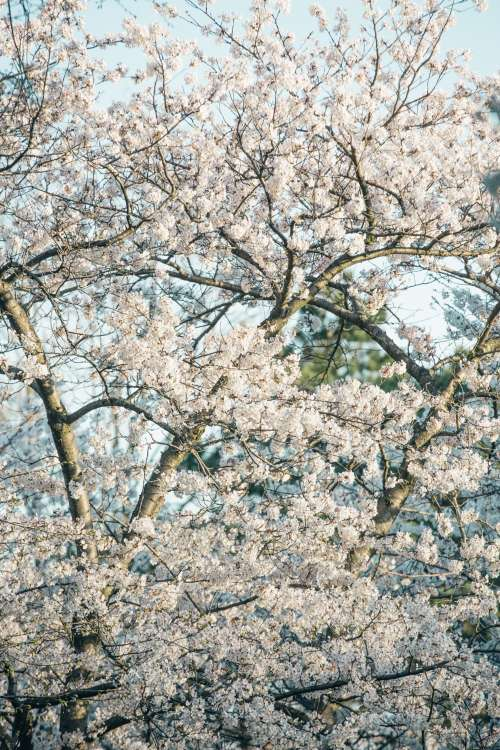 Cherry Blossoms Fill The Screen Photo