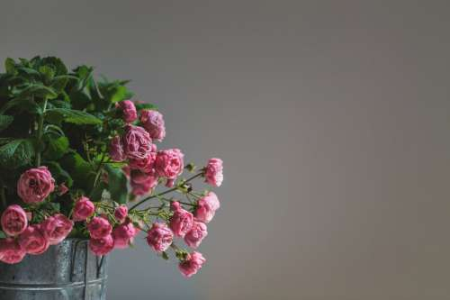 Delicate Pink Roses Photo