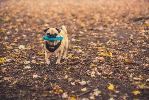 Dog Fetching Disc Photo