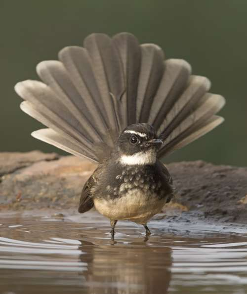 Fantail Bird Bathing In Shallow Water Photo