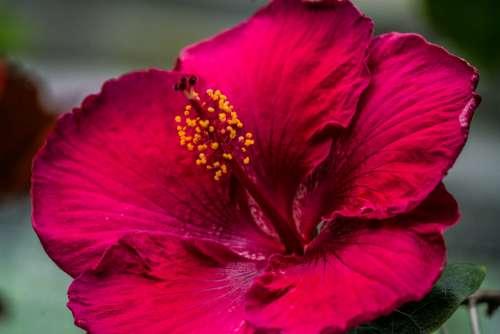 Fuchsia Blossom Closeup Photo