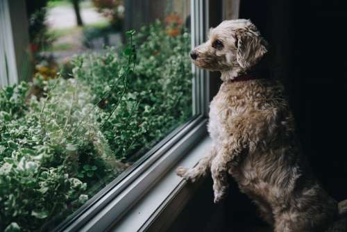 Fuzzy Dog Looks Out Window Photo
