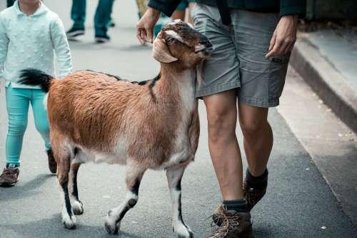 Goat Walking With Man On Street Photo