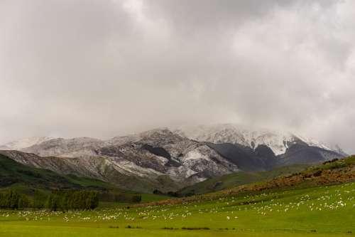 Grazing Sheep Below Snowy Mountain Photo