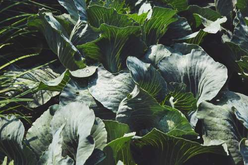 Green Cabbage In Garden Photo
