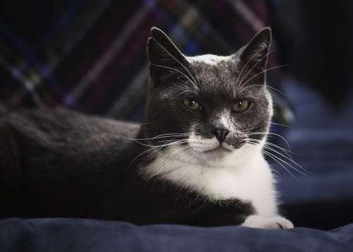 Green Eyed Grey Cat Photo