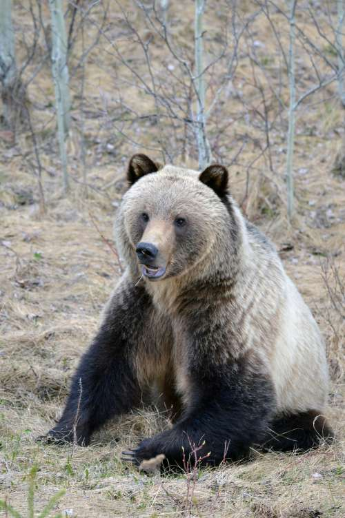 Grizzly Bear In Forrest Photo