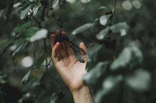 Hand Grabs Tree Berries Photo