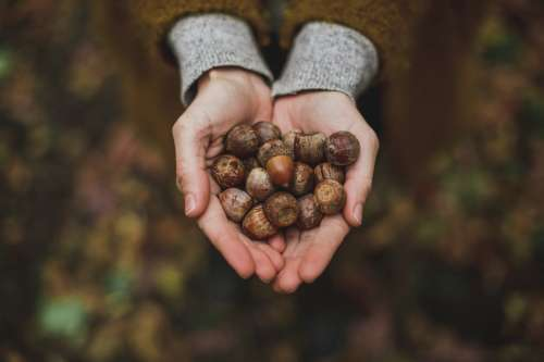 Handful Of Acorns Photo