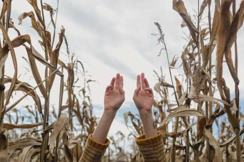Hands Reaching Up In Cornfield Photo