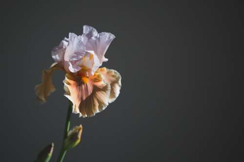 Iris Flower In Sun Photo