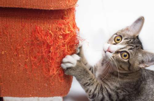 Kitten Scratches Sofa Looking Innocent Photo